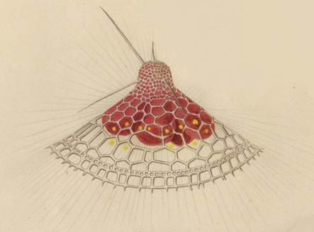 Description: SS23_Radiolarian Plate 5_cropped.jpg